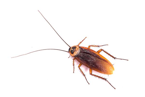 cockroach-630