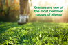 grasses-are-the-most-common-casue-of-allergy-b-630.png